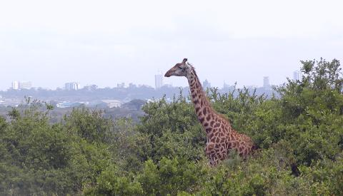 giraffe overlooks the nairobi skyline