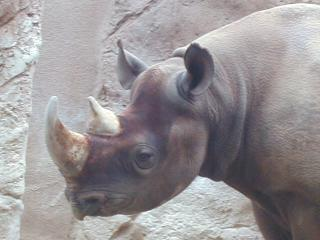 rhino close-up