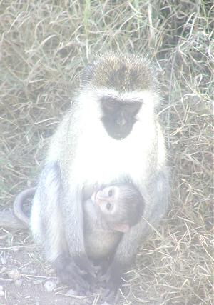 this vervet monkey with child was so close to the vehicle that i had to 