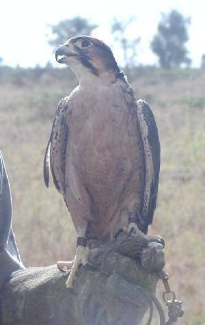 16 yr. old lanner falcon female