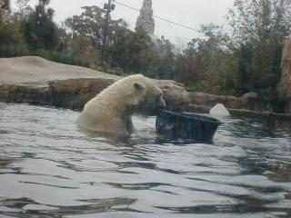 young polar bear at play at san diego zoo