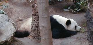 giant pandas are a very relaxed and restful species
