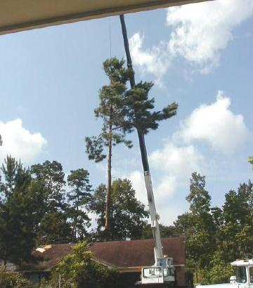 pine tree being craned over the house