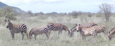 one of skazillion common zebra herds