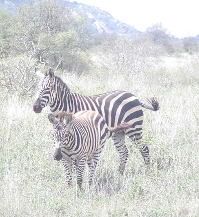 a common sight was a mother zebra with a youngster