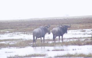 two white-bearded wildebeests in the rain