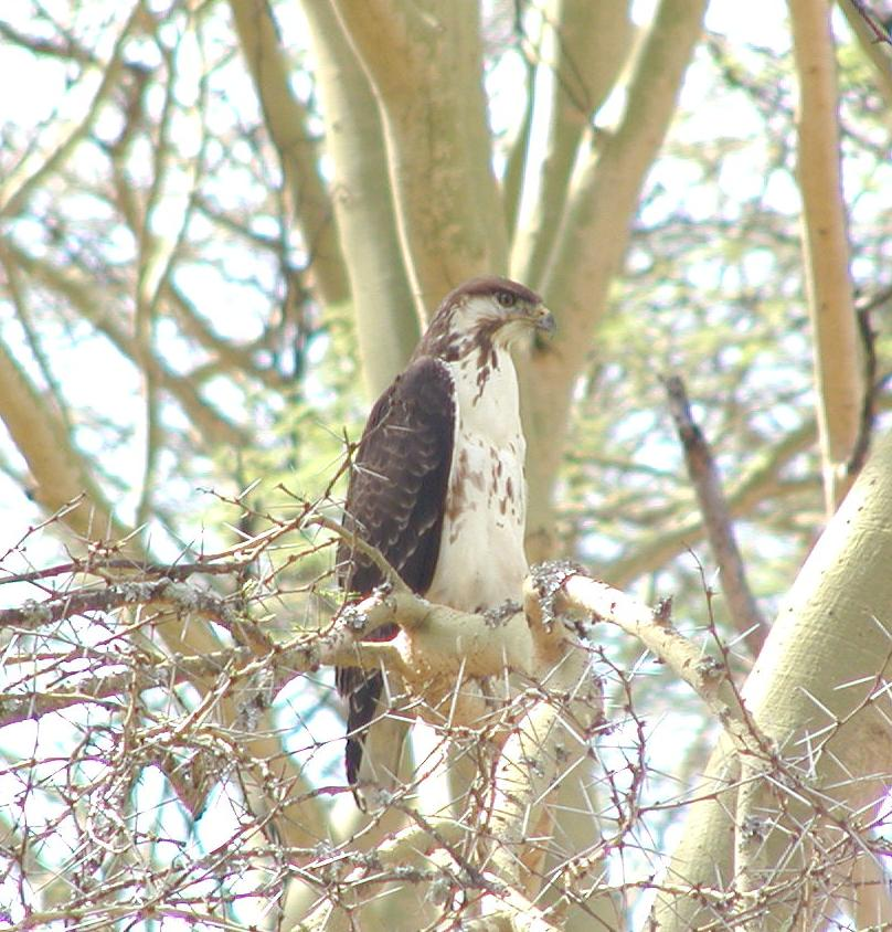 if this young augur buzzard looks pained, it is probably because 