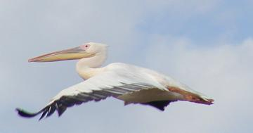 great white pelican in flight over lake nakuru