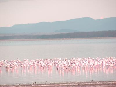 lesser flamingoes on lake nakuru