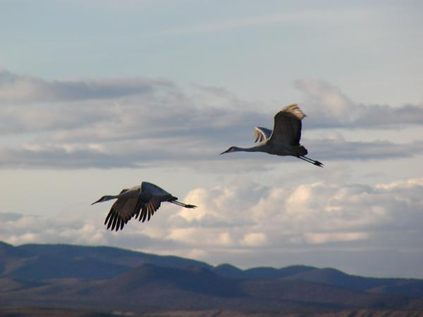 greater sandhill cranes, new mexico
