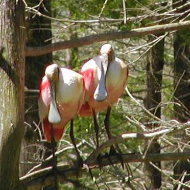 another spoonbill pair sitting close and cuddly