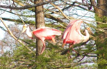 pair of spoonbills