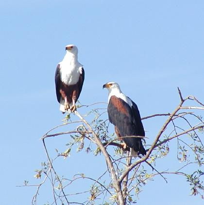 pair of African Fish-Eagles