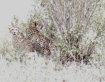 my irritatingly posterized photo of the mother cheetah 