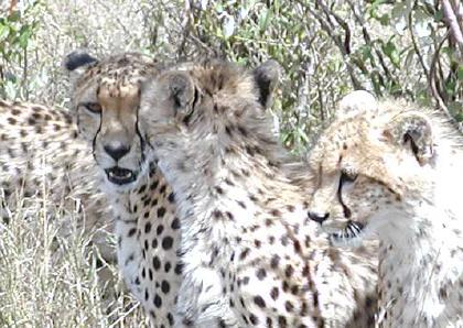 three cheetah youngsters horsing around and never all looking in the 