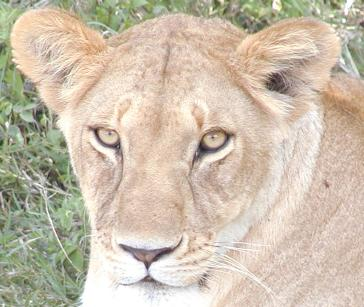 female lion, one of three resting together