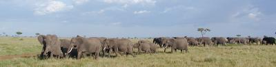 part of a huge herd of over 108 elephants