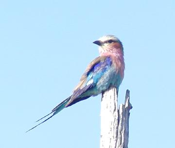 the omnipresent Lilac-Breasted Roller