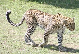 another view of the female leopard