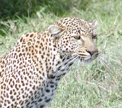 this is the leopard we followed until she killed and ate the impala