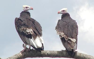 white-headed vultures, female on the left