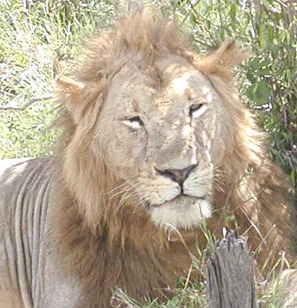 male lion seen in Mara, Kenya