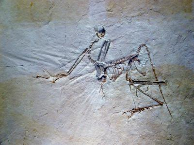 archaeopteryx bavarica