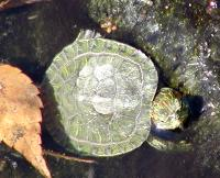 hatchling red-eared turtle at toji pagoda