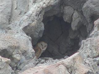 barn owl cave along the snake river, idaho