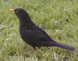 blackbird at green park