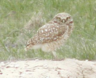 always a favorite, the adorable burrowing owl
