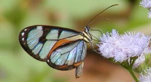 butterfly species on mistflower