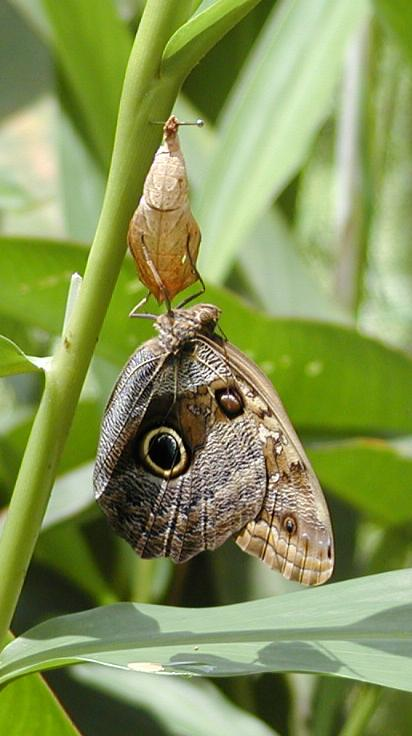 owl or caligo butterfly that just emerged from the cocoon
