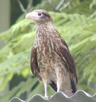 young yellow-headed caracara -- observe the bone-colored 