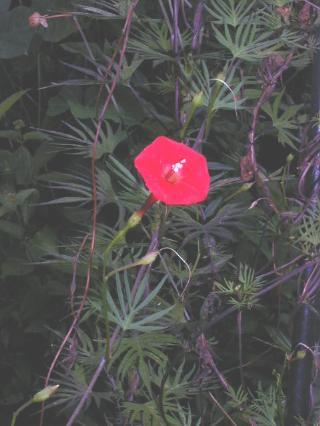 close up of cardinal climber flower