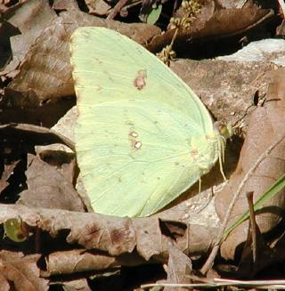 cloudless sulphur (i think) -- it looked quite green in the forest 