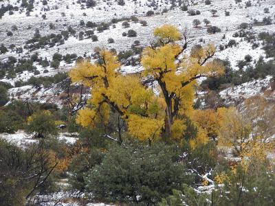 cottonwood in the snow