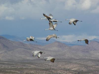 greater sandhill cranes flying