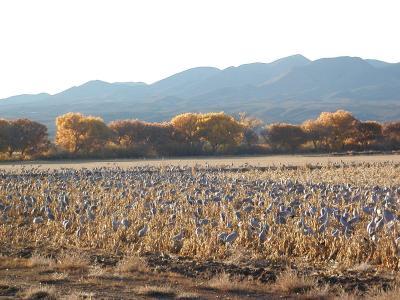 cranes on farm loop, bosque del apache refuge
