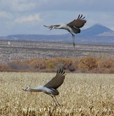 greater sandhill cranes come in for a landing