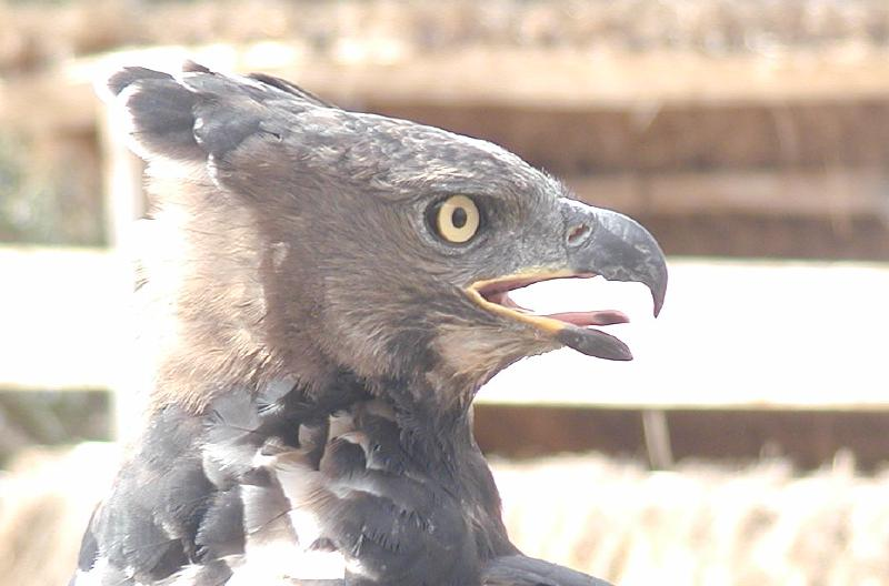 magoo is a 4 year old crowned eagle used in simon thomsett's breeding and restoration program