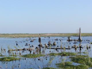 cypress knees in marsh at Bayou Sauvage