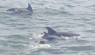 some playful atlantic bottlenose dolphins