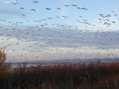 snow geese fly out shortly after sunrise