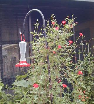 feeder with cardinal climber vine