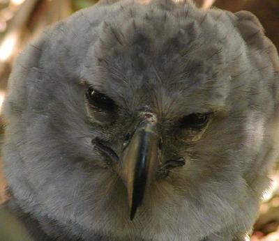 female harpy eagle head detail