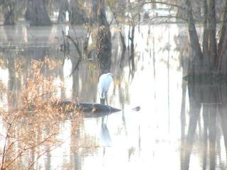 Great Egret on a foggy morning on Lake Martin