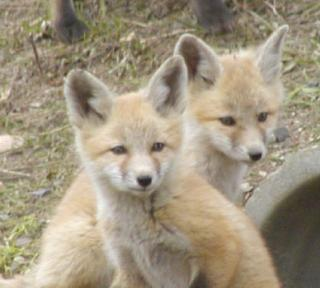 two of a group of four cute baby foxes by the side of the road