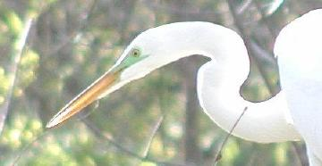 close-up of Great Egret in breeding plumage, Lake Martin, Louisiana, March 2004