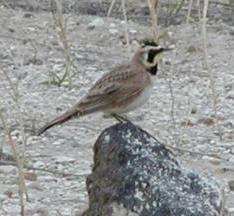 singing horned lark in idaho